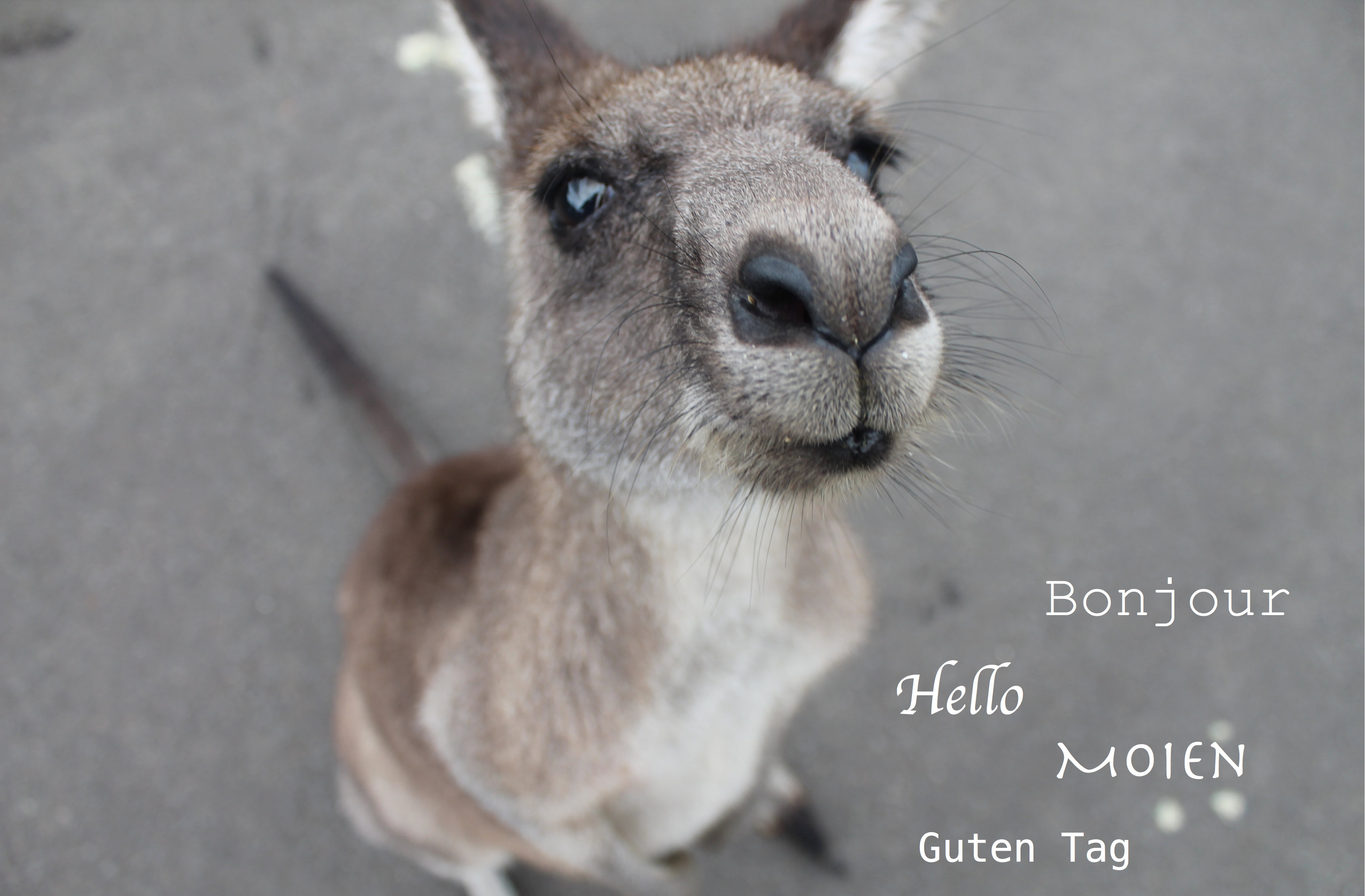 picture of a kangaroo with text 'hello' in 4 languages